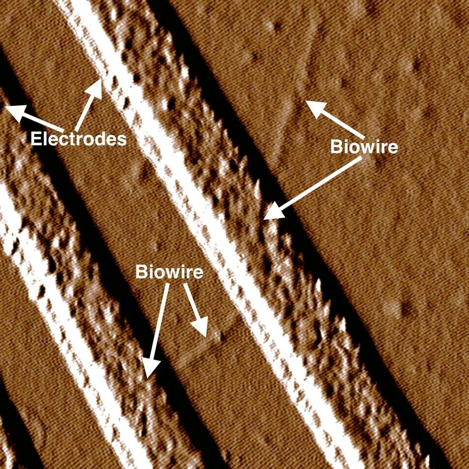 Synthetic biowire making an electrical connection between two electrodes. Researchers led by microbiologist Derek Lovley at UMass Amherst say the wires, which rival the thinnest wires known to man, are produced from renewable, inexpensive feedstocks and avoid the harsh chemical processes typically used to produce nanoelectronic materials. PHOTO: UMASS AMHERST